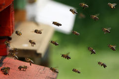 Homecoming bees. Bees are flying home and collect a lot of honey and nectar Stock Photography
