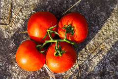 Homegrow tomatoes Royalty Free Stock Photo