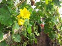 Homegrown κολοκύθι Στοκ εικόνες με δικαίωμα ελεύθερης χρήσης