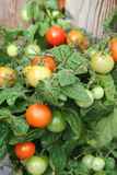 homegrown ντομάτα κερασιών θάμνων στοκ εικόνα