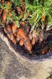 Homegrown οργανικά καρότα στο ψάθινο καλάθι στοκ φωτογραφία με δικαίωμα ελεύθερης χρήσης