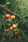 Homegrown οργανική ανάπτυξη ντοματών στο φυτικό κήπο στοκ φωτογραφία με δικαίωμα ελεύθερης χρήσης