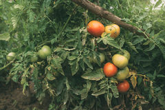 Homegrown οργανική ανάπτυξη ντοματών στο φυτικό κήπο στοκ εικόνες