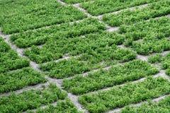 Homegrown οργανικός φυτικός κήπος κατωφλιών Στοκ Εικόνες