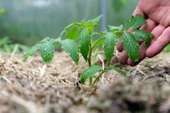 Homegrown τοματιά χωρίς λαχανικά στο πρώτο στάδιο της αύξησης Ο νεαρός βλαστός ντοματών με τα σταγονίδια νερού βγάζει φύλλα επάνω στοκ φωτογραφία με δικαίωμα ελεύθερης χρήσης