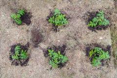 Homegrown τοματιά χωρίς λαχανικά στο πρώτο στάδιο της αύξησης Ο νεαρός βλαστός ντοματών με τα σταγονίδια νερού βγάζει φύλλα επάνω στοκ φωτογραφίες με δικαίωμα ελεύθερης χρήσης