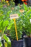 Homegrown сеянцы трав Стоковые Фотографии RF