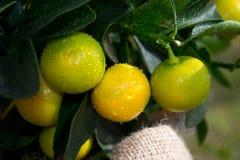 Homegrown apelsiner arkivfoton
