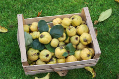 Homegrown apple quinces in a crate Stock Photo