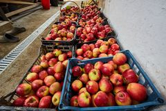 Homegrown apples in crates Stock Image