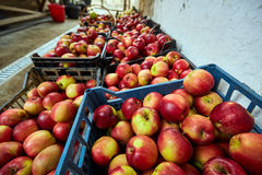 Homegrown apples in crates Royalty Free Stock Image