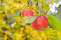 Homegrown apples Royalty Free Stock Photo