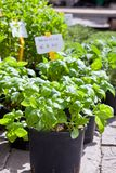 Homegrown basil seedlings Stock Image