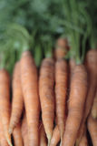Homegrown carrots Royalty Free Stock Photography