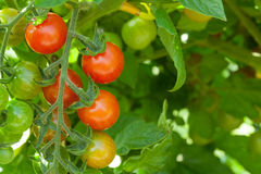 Homegrown cherry tomatoes Stock Image