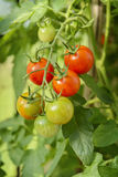 Homegrown cherry tomatoes. Growing on bush royalty free stock images