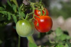 Close-up of cherry tomatoes. Homegrown cherry tomatoes growing, ripening on plant stock photography