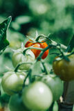 Homegrown cherry tomatoes in a pot Royalty Free Stock Images