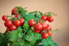 Homegrown cherry tomatoes in a pot Royalty Free Stock Photos