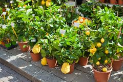 Homegrown citrus seedling pots Royalty Free Stock Photos