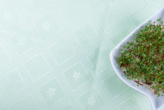Homegrown cress. Cress in white flowerpot on green tablecloth Stock Photos