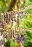 Homegrown and fresh lavender drying in garden. Homegrown and fresh lavender drying in summer garden stock image