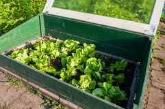 Homegrown fresh lettuce in a small greenhouse Stock Photos