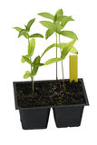 homegrown klara plantor transplanterar zinnia royaltyfri fotografi