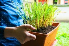 Homegrown lemongrass Stock Photography