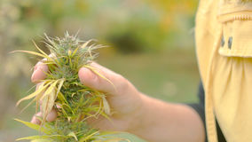 Homegrown Marijuana Plant Stock Photo