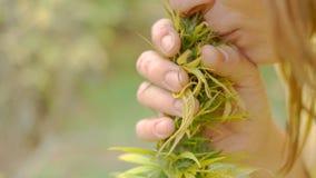 Homegrown Marijuana Plant Royalty Free Stock Photo