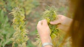 Homegrown Marijuana Plant Stock Image
