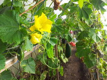 Homegrown marrow. Dads home grown marrow in a polytunnel Royalty Free Stock Images