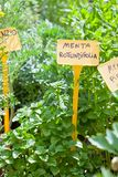 Homegrown mintplantor royaltyfri fotografi