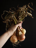 Homegrown onions with leaves Royalty Free Stock Photography