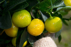Oranges with waterdrops. Homegrown oranges on little plant Stock Photos