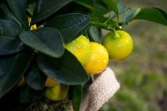 Oranges. Homegrown oranges on little plant Royalty Free Stock Image