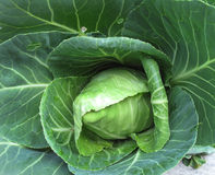 Homegrown Organic Cabbage Royalty Free Stock Photography