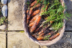 Homegrown organic carrots in wicker basket Royalty Free Stock Photos