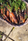 Homegrown organic carrots in wicker basket Royalty Free Stock Images