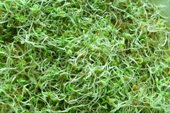 Homegrown Organic Natural Clover Sprouts. Antioxidant stock photos