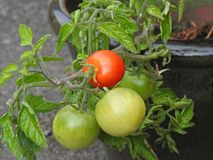 Homegrown organic tomatoes. Photo of homegrown organic fresh tomatoes ripening up on the vine stock photos