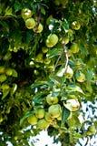homegrown organisk pearstree royaltyfri foto