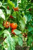 homegrown organiska tomater fotografering för bildbyråer