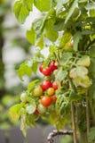 Homegrown organiska tomater royaltyfria foton