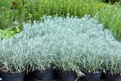 Homegrown plantakrukar royaltyfria bilder