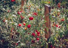 Homegrown Red Fresh Tomato In A Garden. Red organic tomato plant. And fruit in the summer light. Bio garden with tomatoes. Homemade tomatoes grown in the garden royalty free stock images