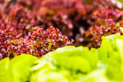 Homegrown salad macro Stock Images