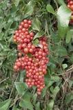 Homegrown sarsaparilla or smilax aspera. Cluster of berries of homegrown sarsaparilla or smilax aspera royalty free stock photos