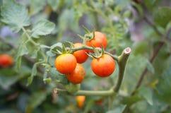 homegrown tomater royaltyfria bilder